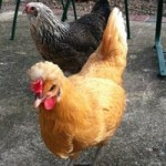 thumb_http://www.kyforward.com/wp-content/uploads/2013/05/chicken-150x150.jpg