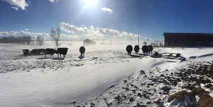 Henry County  farmer Brad Steverson keeps busy rotating his herd of cattle during the colder months. (Photo from USDA)