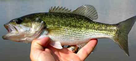 The spotted bass has been Kentucky's state gamefish since 1956. (Photo by Art Lander Jr.)