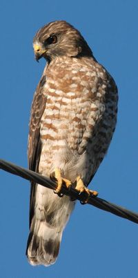 The Broad-winged Hawk nests in Kentucky, but migrates to Central and South America for the winter (Photo Provided)