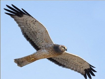 The Northern Harrier is the only hawk species in Kentucky that nests on the ground, and lives only in grassland habitat (Photo Provided)
