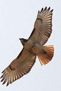 The Red-tailed Hawk is Kentucky's most conspicuous raptor, found throughout the state, especially in Central  Kentucky's farm country (Photo Provided)