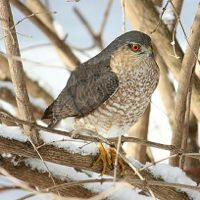 The Sharp-shinned Hawk is the smallest hawk in North America, an acrobatic flier that takes its prey on the wing (Photo Provided)