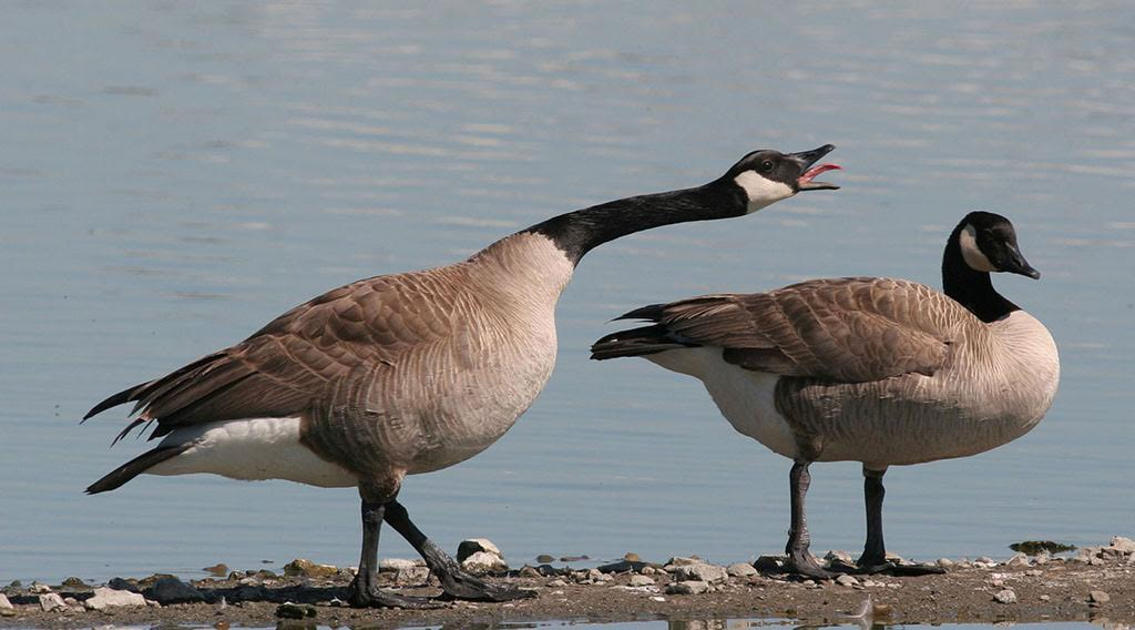 Canada goose hunting kentucky for Kentucky fish and wildlife phone number
