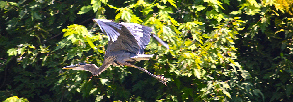 A Heron emerges form the tree-lined banks f the licking River (Photo by Andy Mead)