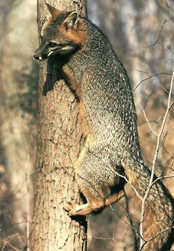 Gray foxes have hooked claws and are excellent tree climbers. They sometimes walk up a leaning tree in the forest and sit in the crotch of a tree (Photo Provided)
