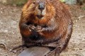Beavers have a broad, flat tail that may be 15 inches long and six inches wide. It is covered with leathery scales and sparse, coarse hairs. In the water, the animal uses its flexible tail as a rudder. On land, the tail acts as a prop when a beaver is sitting or standing upright. (Photo Provided)