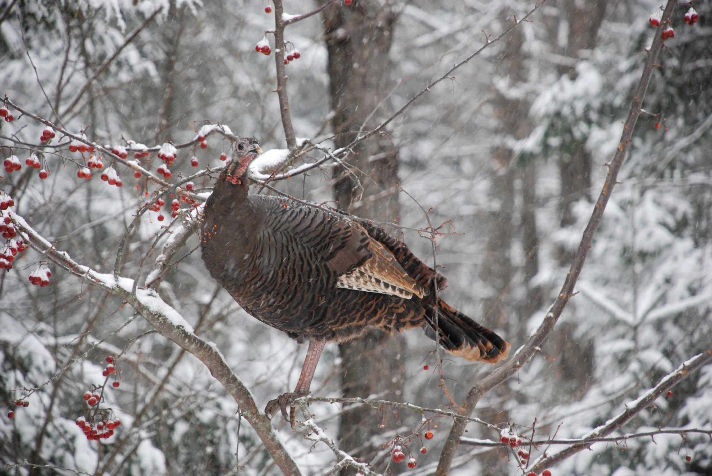 White-tailed deer and wild turkeys try to conserve body heat when it's cold, feeding on high calorie foods, moving as little as possible, and expending energy only during the warmest parts of the day (Photo Provided)