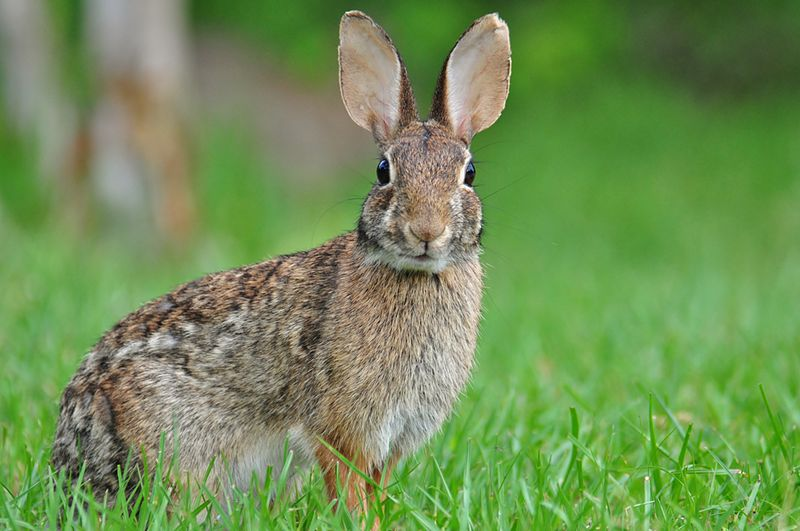 "In the 1700's, Pennsylvania Dutch German immigrants grew the Easter bunny story.  They told their children about the ""Osterhase,"" (Easter hare), who gave only good little children gifts of colored eggs in nests made of children's caps and bonnets each spring at Easter time (Photo Provided)"
