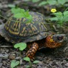 The Eastern Box Turtle is present throughout Kentucky, but most often where there is a mixture of forestlands and overgrown fields, with list underbrush around springs, seeps or small creeks.