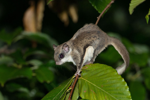 Flying squirrels are nocturnal and omnivorous, eating mostly nuts, fruit, seeds, buds, flowers, insects, gastropods (snails), spiders, fungi, bird eggs and tree sap (Photo Provided)