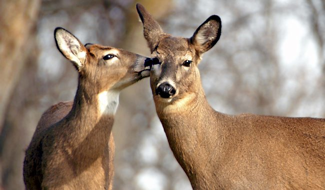 Public input on Kentucky's deer program will be accepted through Sept. 9 (Photo Provided)