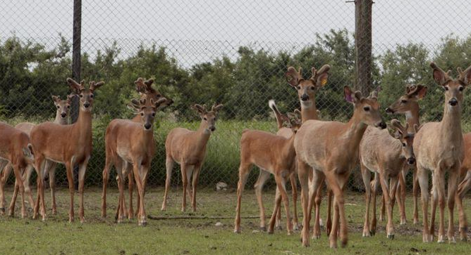 "The North American model of wildlife conservation embraces the concept of ""fair chase,"" and rejects the notion of game animals raised as livestock, and taken in fenced enclosures (Photo Provided)"