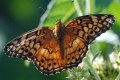 The monarch butterfly was runner up to the viceroy  as Kentucky's official state insect (Berry Craig Photo)
