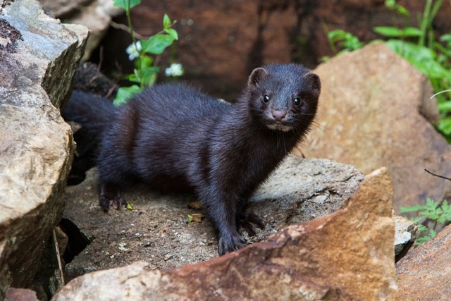 The American Mink has an overall length of typically 20 to 27 inches long, with a stout build, and a tail that's about one-third its body length. Its body shape resembles a marten, a closely related species native to northern forests. (Photo Provided)