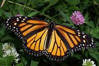 Female monarch butterfly (Photo from Wikimedia Commons)