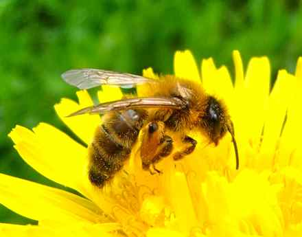 The yellow spots on the honey bee are pollen grains from the dandelion. In Kentucky, pollen is everywhere! (Photo from Wikimedia Commons)