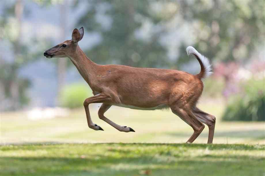 Wary, with inquisitive glances, keen eyesight, an acute sense of smell, the whitetail can escape to cover in the blink of an eye, bounding off in dramatic leaps (Photo Provided)