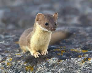 The Long-Tail Weasel may be just 13 to 17 inches in total length, with short legs and a well-furred tail that's about half its body length. The weasel's head is small and flattened, with ears that are short and rounded. The eyes are small and beady. (Photo Provided)