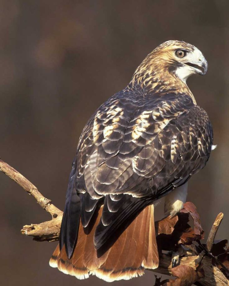 Art Lander S Outdoors The Red Tailed Hawk Kentucky S
