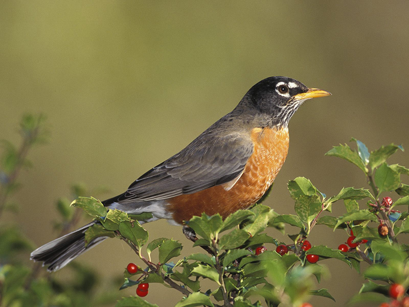 Art Landers Outdoors The American Robin Migratory Songbird And